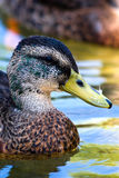 Young male mallard duck Royalty Free Stock Photos