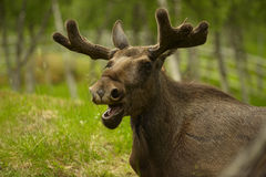 Young male moose. Portrait of a young male moose in a forest Royalty Free Stock Photo