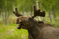 Young Male Moose with Antlers. Young male bull moose with mouth open in forest Stock Photography