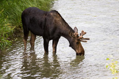 Young male moose Stock Photo