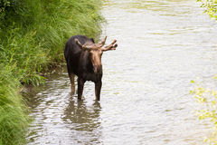 Young male moose Stock Photos