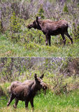Young male moose. Two images showing left and right profile of a young male adolescent moose in the Rocky Mountain National Park, Colorado, USA Stock Images