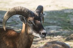 Young male Mouflon Ovis orientalis Royalty Free Stock Photography