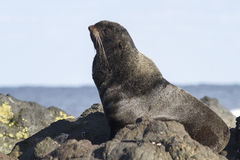 Young male northern fur seal that rests. On the rocks stock image