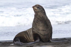 Young male northern fur seal that sits on the beach on the Pacific Ocean stock image