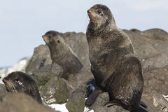 Young male northern fur seal sitting Royalty Free Stock Images