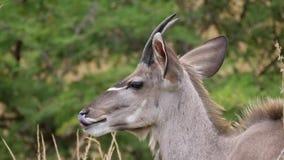Young male nyala Stock Photo