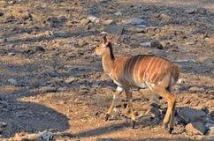Young male nyala (Tragelaphus angasii) Stock Images