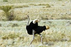Ostrich in Namibia. Young male ostrich in Namibia, Africa Royalty Free Stock Photography