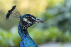 Young Male Peacock Royalty Free Stock Photography