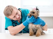 Veterinarian checking dog`s teeth at clinic. Young male pet doctor checking dog`s teeth on table at veterinary clinic. Veterinarian examing teeth to Yorkshire Royalty Free Stock Photo