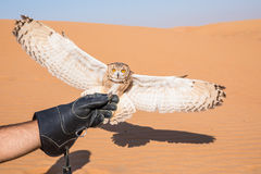 Young male pharaoh eagle owl during a desert falconry show in Dubai, UAE. Royalty Free Stock Photography