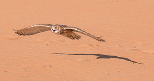 Young male pharaoh eagle owl during a desert falconry show in Dubai, UAE. Royalty Free Stock Photos
