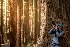 Young male photographer taking photo in Redwood forest stock photography