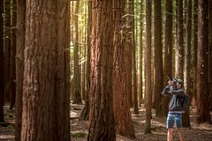 Young male photographer taking photo in Redwood forest stock photos