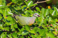 Young Male Pink-necked Green Pigeon Royalty Free Stock Photos