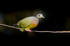 Young Male Pink-necked Green Pigeon Stock Photo