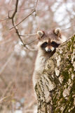 A young male raccoon gargle on a tree trunk Stock Image
