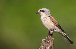 Young Male Red-backed Shrike Stock Image