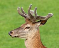 Young male Red Deer Stock Photography