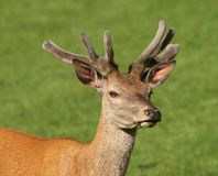 Young male Red Deer Royalty Free Stock Images