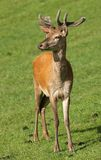 Young male Red Deer Royalty Free Stock Photography