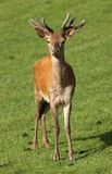 Young male Red Deer Stock Photo