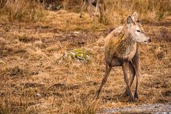 A red deer Cervus elaphus in Glencoe Scotland. A young male red deer stag with new antlers in the brown grass in Glen Coe Scotland Royalty Free Stock Photo