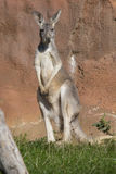 Young male red kangaroo, Megaleia rufa Stock Photography