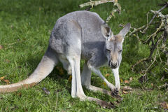 Young male red kangaroo, Megaleia rufa Stock Image
