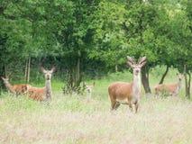 Young male roe deer and herd. Herd of wild deer alert in woodland stock image