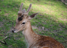 Young male roe deer laying on the grass Royalty Free Stock Photos