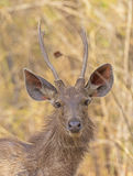 Young Male Sambar Deer in the Forest. In Bandhavgarh National Park in India Stock Photography