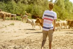 Young male shepherd walking near the cow herd on the summer sandy field a royalty free stock images