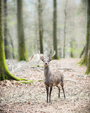 Young male sika deer. (lat. cervus nippon) with antlers standing in the woods, low dof Royalty Free Stock Photo