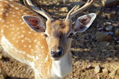 Young male sika deer. The Sika Deer, Cervus nippon, also known as the Spotted Deer or the Japanese Deer, is a species of deer native to much of East Asia and royalty free stock image