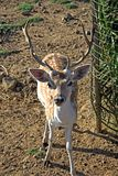 Young male sika deer. The Sika Deer, Cervus nippon, also known as the Spotted Deer or the Japanese Deer, is a species of deer native to much of East Asia and stock photo