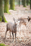 Young male sika deer (lat. cervus nippon). With antlers standing in the woods, low dof Stock Image