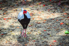 Young male of the Silver Pheasant Lophura nycthemera. In The Thailand Royalty Free Stock Photos