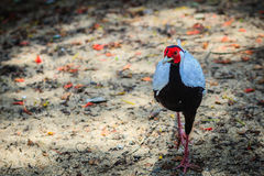 Young male of the Silver Pheasant Lophura nycthemera. In the forest Stock Photos