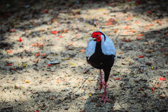 Young male of the Silver Pheasant Lophura nycthemera. In the forest Royalty Free Stock Photos