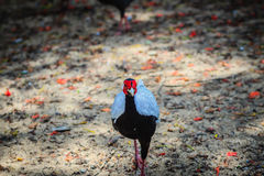 Young male of the Silver Pheasant Lophura nycthemera. In the forest Stock Photography