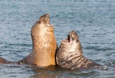 Young male Southern Elephant Seals fighting in the ocean, Davis Station, Antarctica stock photography