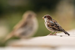 Young male sparrow Royalty Free Stock Image