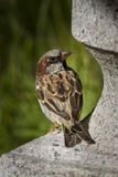 Young male sparrow. Is sitting on a stone sculpture and looking around Royalty Free Stock Photos