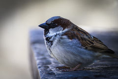 Young male sparrow Stock Photography