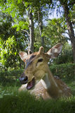 Young male spotted deer in Bardia, Nepal Royalty Free Stock Image