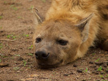 Young male spotted hyena Stock Photos
