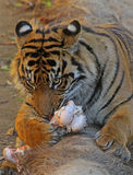 Feeding Tiger Royalty Free Stock Images