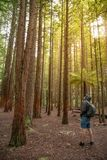 Young male traveler wearing hoody look up in Redwood forest stock image
